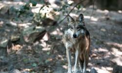 grey-wolf_37287-2