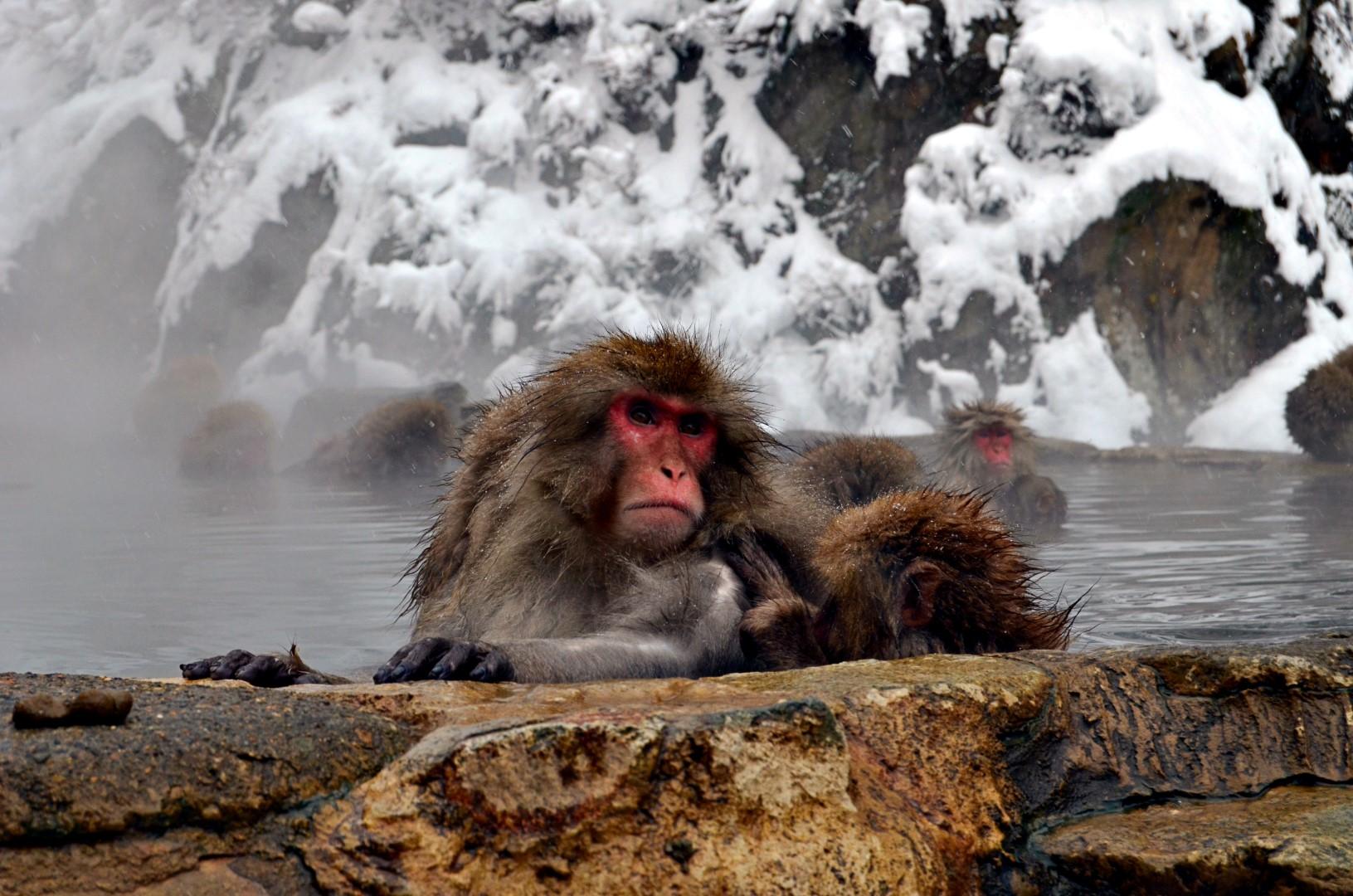 Snezne opice, Japonsko, Nomadi